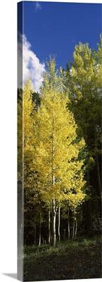 Aspen trees in a park, Colorado