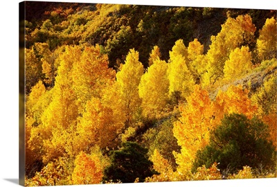 Aspen trees in autumn, Capitol Reef National Park, Utah
