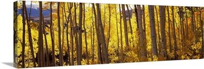 Aspen trees in autumn, Colorado,