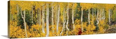 Aspen trees in autumn, Dixie National Forest, Utah