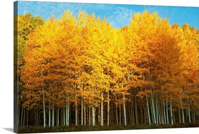 Aspen trees in autumn, Last Dollar Road, Telluride, Colorado