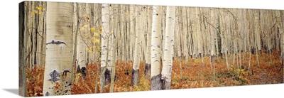 Aspen trees in the forest, Aspen, Colorado