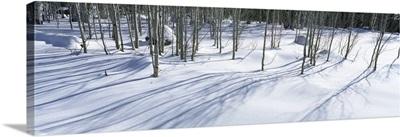 Aspen trees on a snow covered landscape, Flagstaff, Coconino County, Arizona