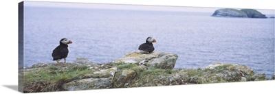Atlantic Puffins Perching On Rocks, Maberly, Newfoundland And Labrador, Canada (Fratercula Arctic)