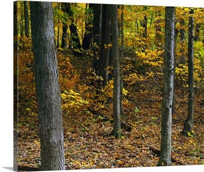 Autumn color forest, Palisades-Kepler State Park, Iowa