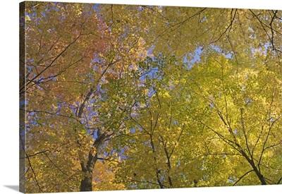Autumn color maple tree canopy, Mille Lacs Kathio State Park, Minnesota