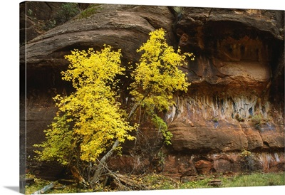 Autumn Color Trees By Canyon Walls