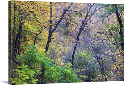 Autumn color trees growing on Mississippi River bluffs, Pikes Peak State Park, Iowa