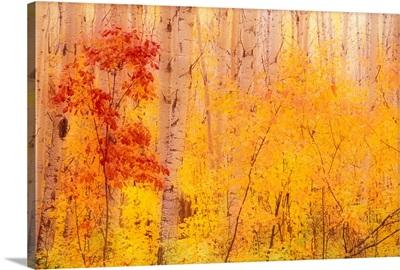 Autumn Forest w/Birch Trees Canada