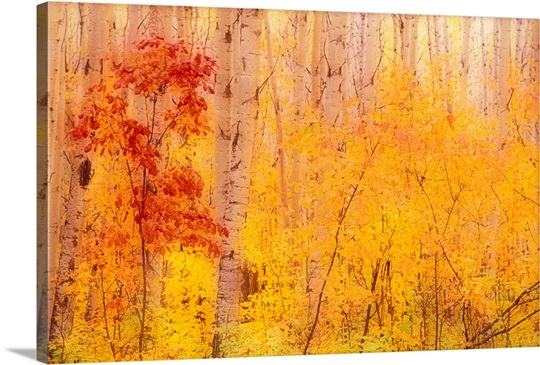 Autumn Forest w/Birch Trees Canada Wall Art, Canvas Prints, Framed ...