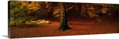 Autumn Leaves Perthshire Scotland