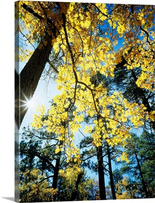 Autumn Trees CA