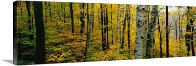 Autumn Trees MA