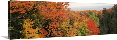 Autumnal trees in a forest, Hiawatha National Forest, Upper Peninsula, Michigan