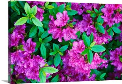 Azalea flowers blooming.