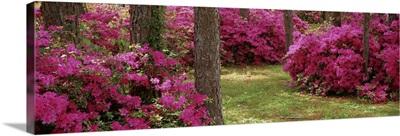 Azaleas in a forest, Crawfordville, Florida