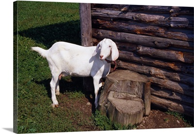 Baby goat by weathered wood outbuilding.