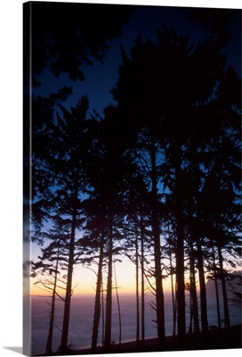 Back Lit Pine Trees At Second Beach