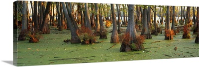 Bald cypress trees (Taxodium disitchum) in a forest, Illinois
