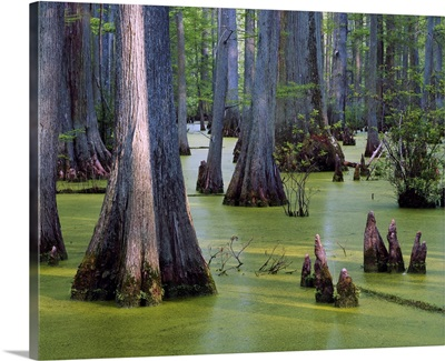 Bald cypress trees (Taxodium distichum) growing in algae-covered Heron Pond, Cache River State Natural Area, Illinois