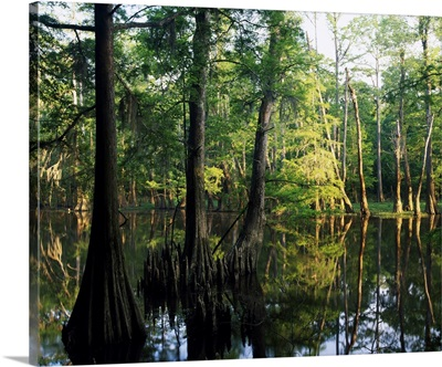Bald cypress trees (Taxodium distichum) in Dace Lake, Upper Pascagoula Wildlife Management Area, Mississippi