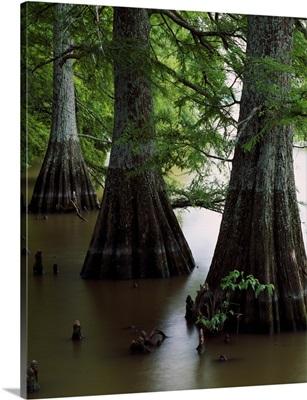Bald cypress trees (Taxodium distichum) in Lake Bolivar, close up, Mississippi
