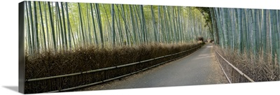 Bamboo trees in a forest, Arashiyama, Kyoto Prefecture, Japan