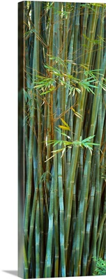 Bamboos in a garden Kanapaha Botanical Gardens Gainesville Florida