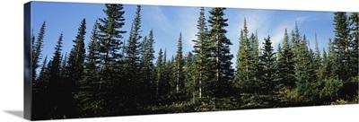 Banff Pine Trees, Alberta, Canada