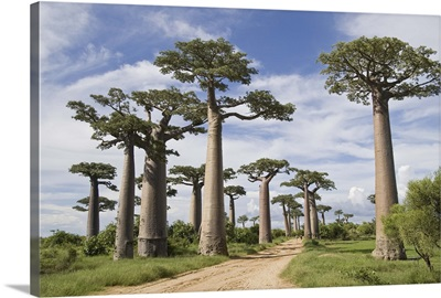 Baobab trees along a dirt road, Avenue of the Baobabs, Morondava, Madagascar