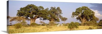 Baobab Trees and Safari Tarangire Tanzania Africa