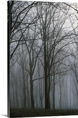Bare trees in misty forest, Finger Lakes Region, New York