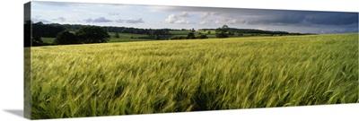 Barley Field Wales