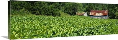 Barn in a tobacco field, Kentucky