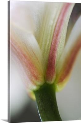Base of stargazer lily blossom and stem, detail.