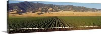 Bean Field Salinas Valley CA