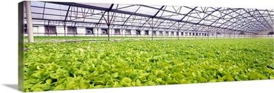Bib Lettuce Farm