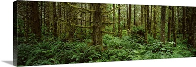 Bigleaf maple trees in a forest, Temperate Rainforest, Mt St. Helens National Volcanic Monument, Washington State,