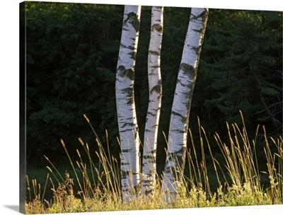 Birch tree detail, Maine
