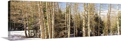 Birch trees on a mountain, Ebbetts Pass, Sierra Nevada, Alpine County, California