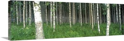Birch Trees Saimma Lakelands Finland