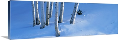 Birch Trees VT