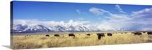 Bison Herd Grand Teton National Park WY