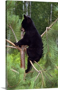 Black Bear Cub Climbing In Pine Tree Minnesota Wall Art