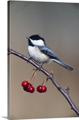 Black-capped chickadee bird perching on branch with cherries, Michigan