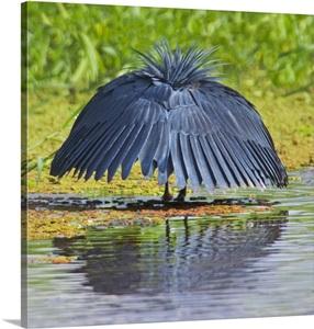 Black Egret Fishing In A Lake Lake Manyara Arusha Region