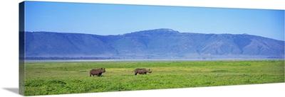 Black Rhinoceros Ngorongoro Crater Tanzania Africa