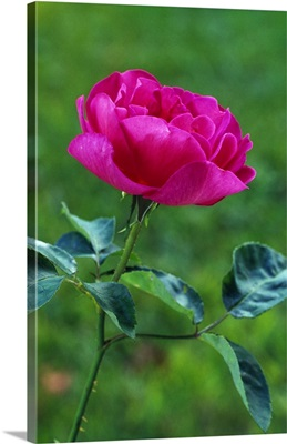Blooming rose flower, selective focus.
