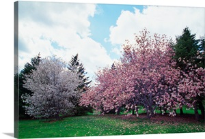 Blooming Star And Saucer Magnolia Trees New York Wall Art Canvas