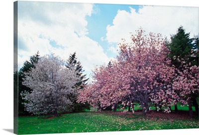Blooming star and saucer magnolia trees, New York